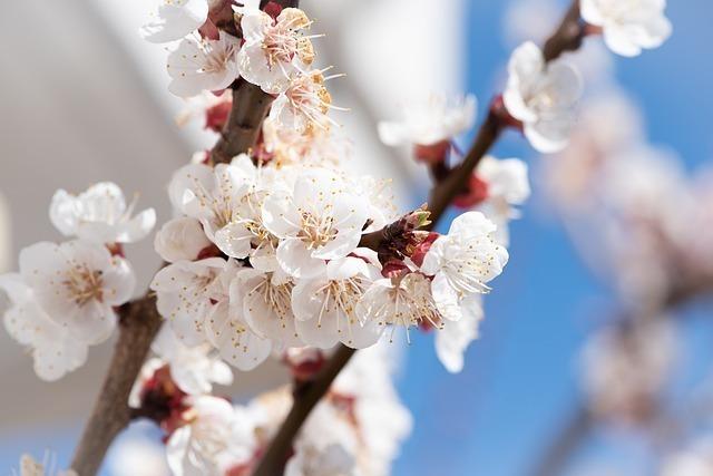 「日本といえば」で連想できる花3位:梅