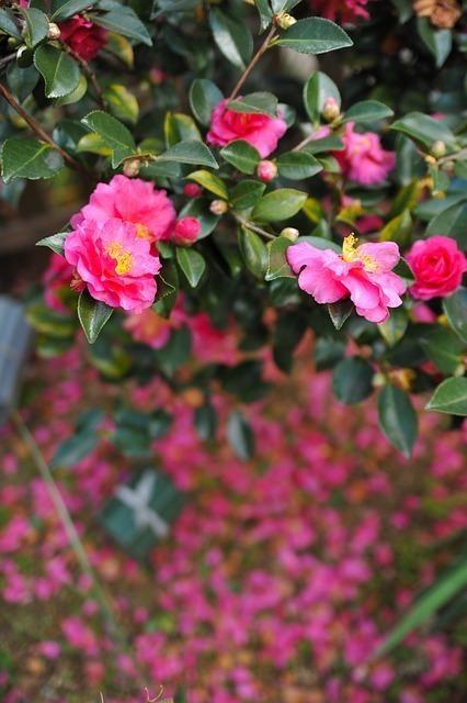 濃い目のピンクの花を咲かせる山茶花