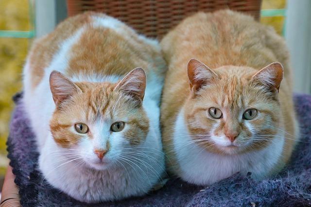猫の目の色は遺伝で決まっている?