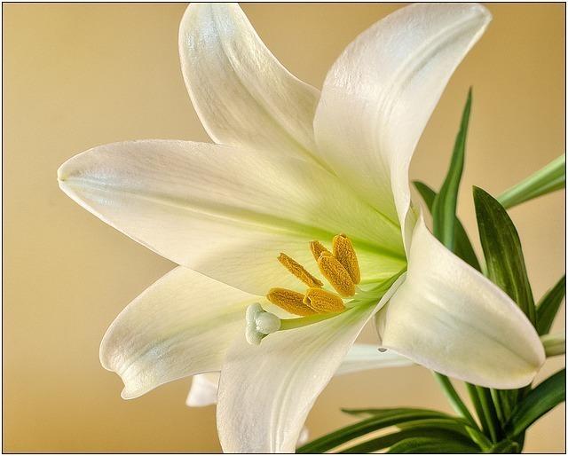 白百合の花を贈る時はTPOと本数に気をつけて