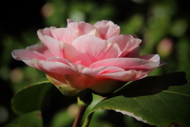 ピンクの椿の花言葉