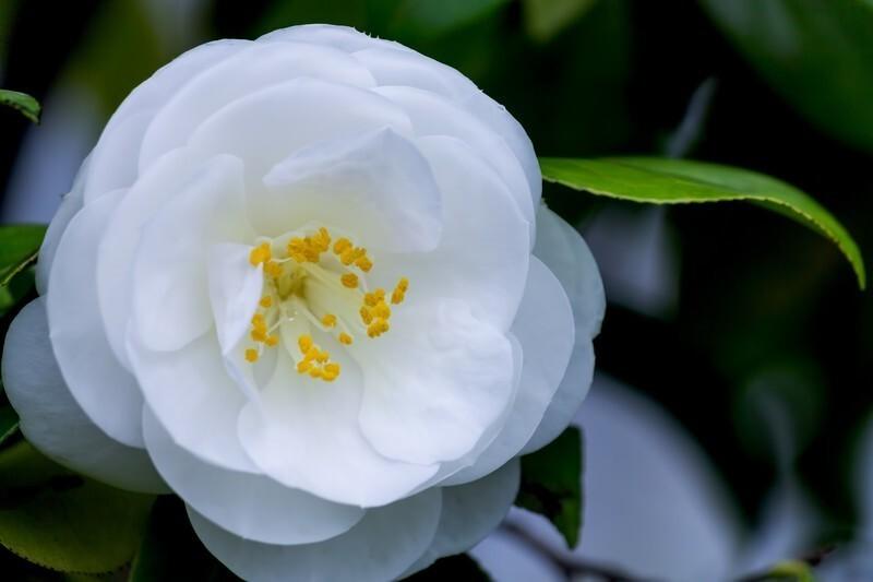 白い椿の花言葉