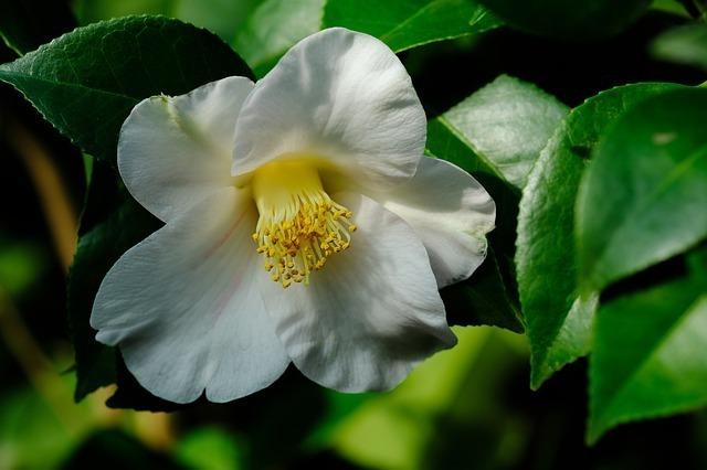 白の椿の花言葉とは