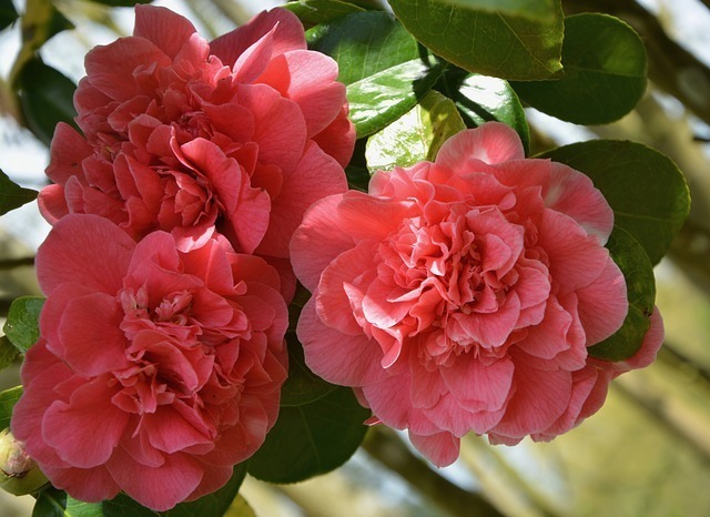 椿の花言葉は色の種類で異なる?