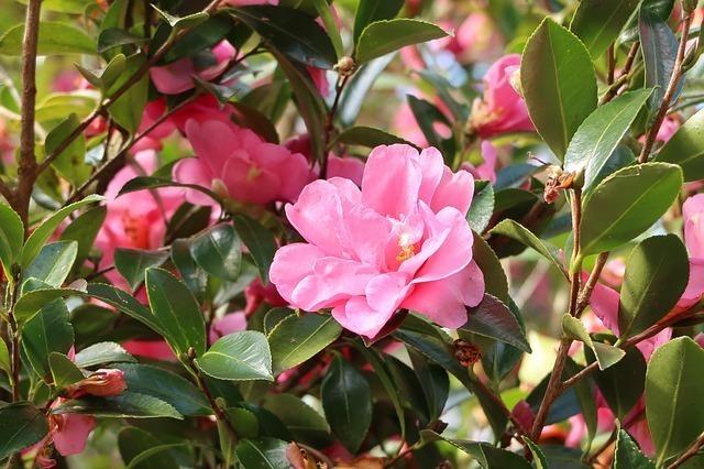 姫椿は椿と同じ花?