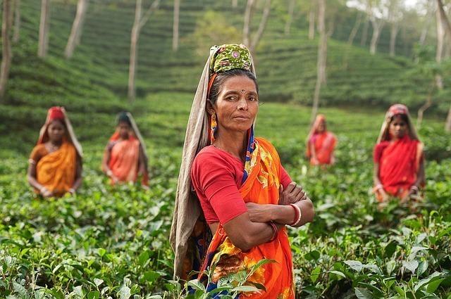 茶畑で作業する女性たち
