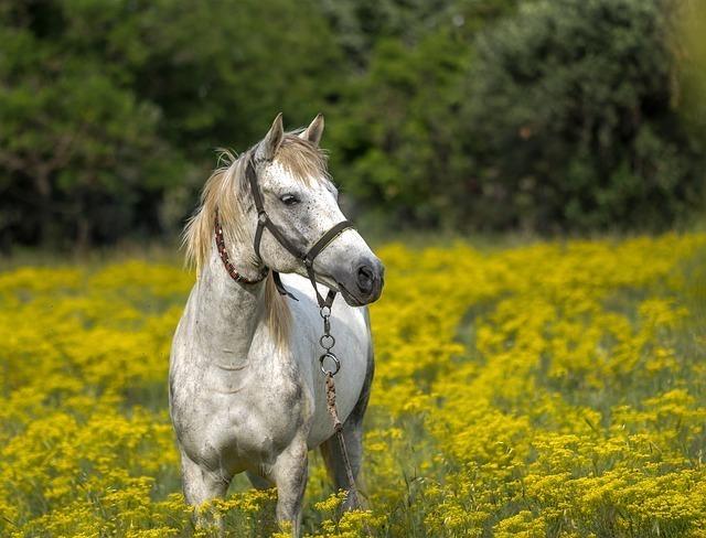 黄色花畑で佇む白い馬