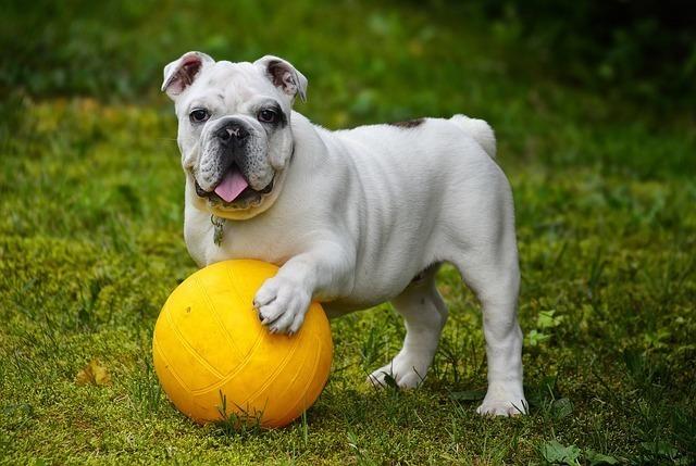 ボールに乗る犬