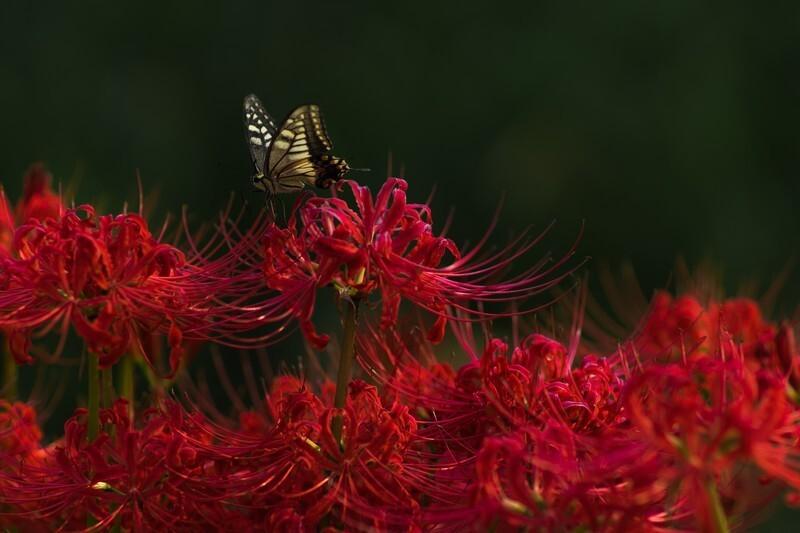 彼岸花と蝶々