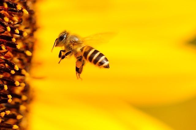 ひまわりと蜂