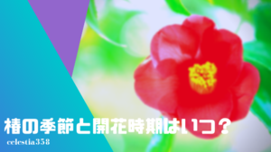 椿の季節と開花時期はいつ?着物・帯や季語の時期もご紹介!