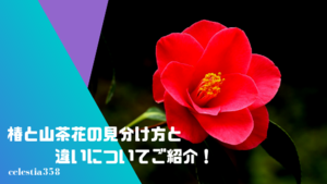 椿と山茶花の見分け方と違いについてご紹介!